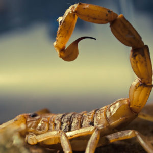 BUY DEATHSTALKER SCORPION VENOM