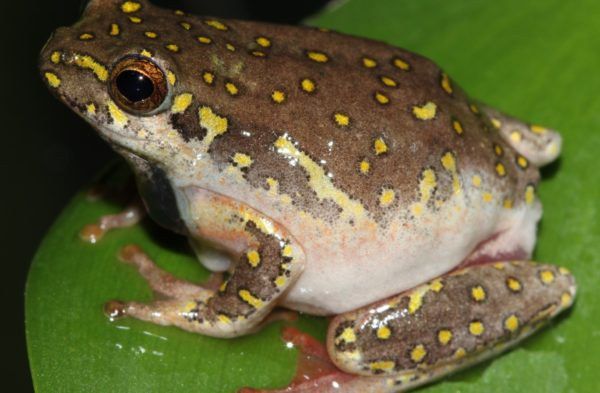 BUY KASSINA SENEGALENSIS TOAD VENOM
