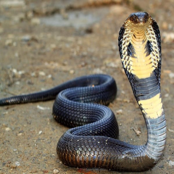 BUY KING COBRA SNAKE VENOM ONLINE